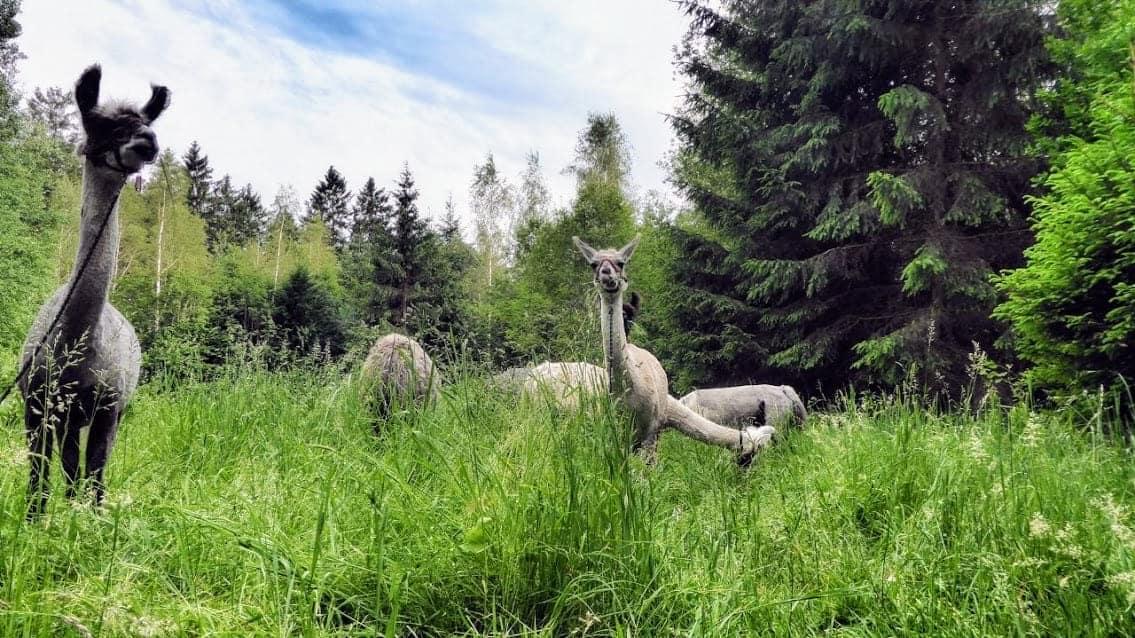 Entspannte Lamawanderung in Bayern mit Picknick